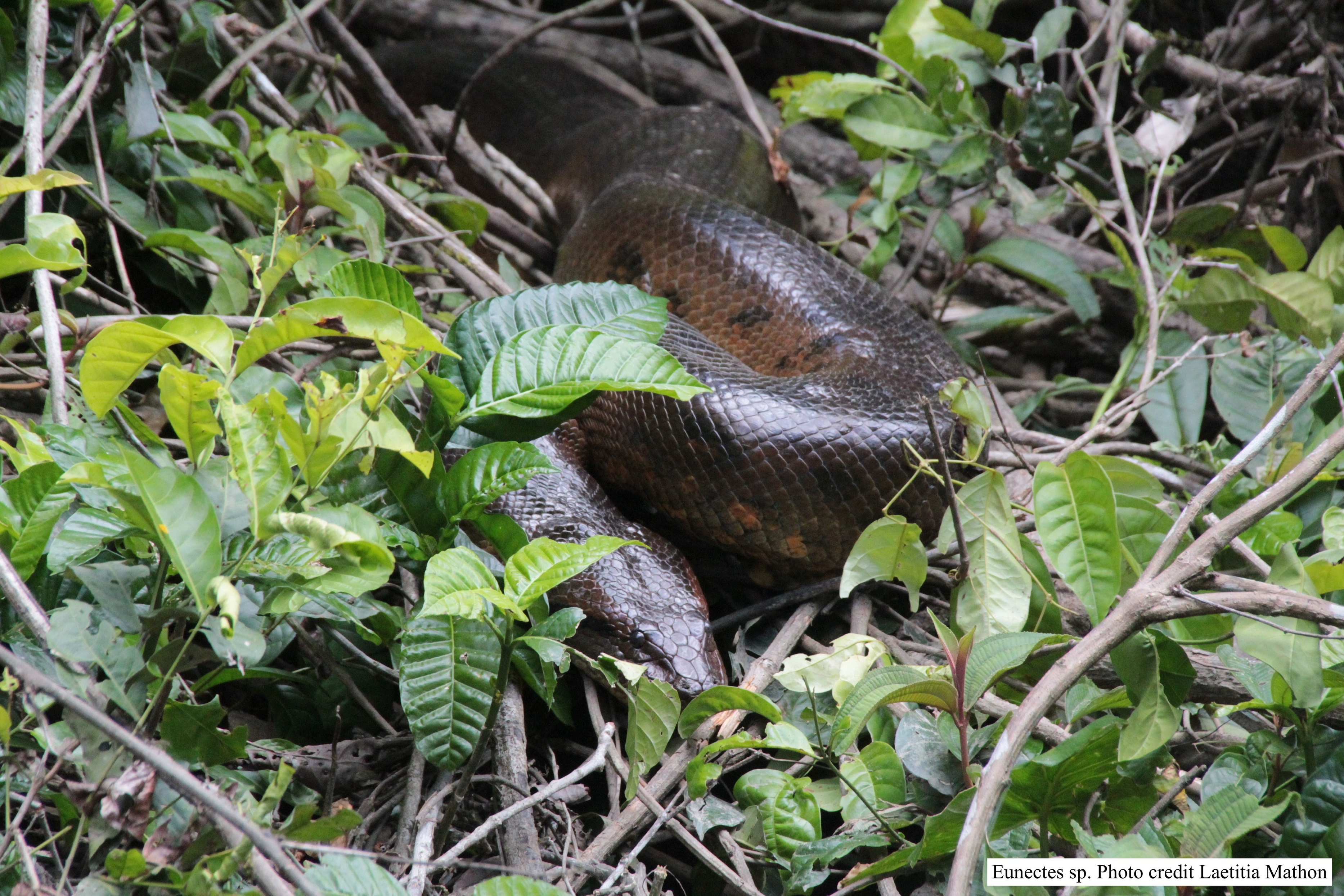 A photo of an anaconda in the Amazon rain forest