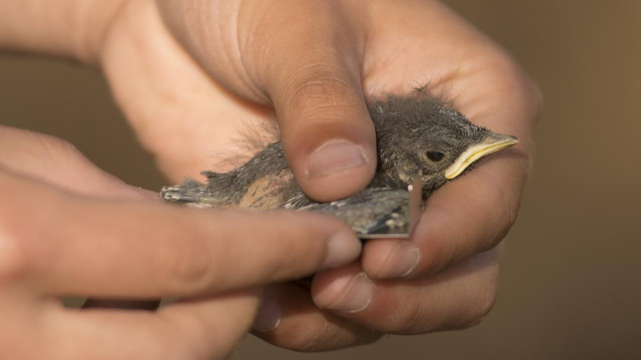 A bird being banded